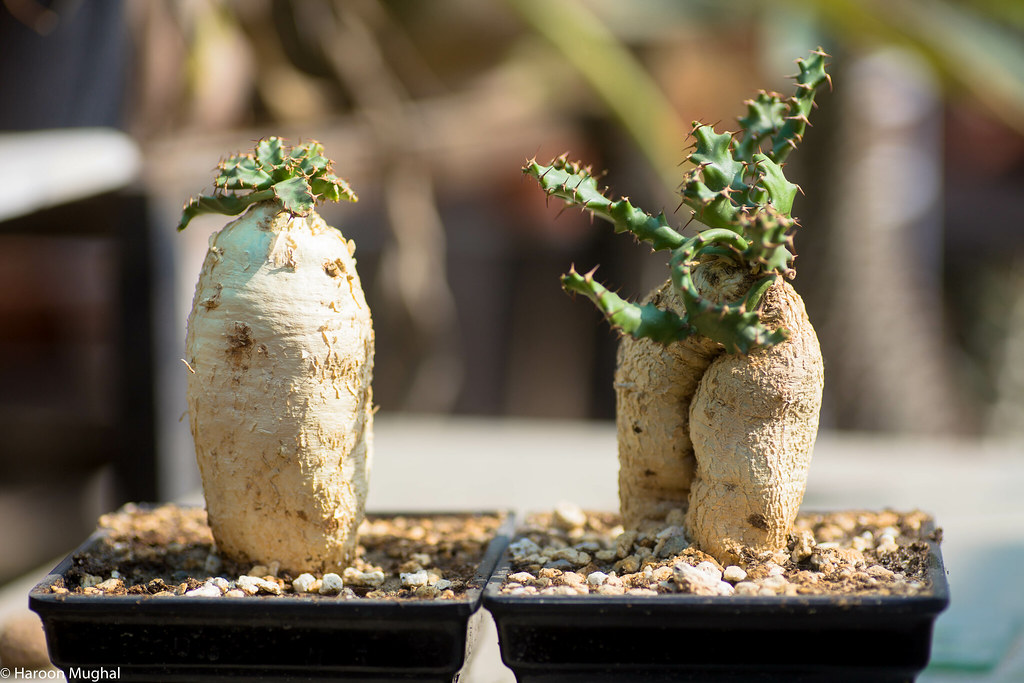 Euphorbia stellata and squarosa