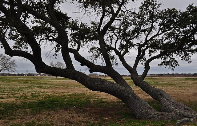 Fort Monroe, Live Oak (Quercus virginiana) (14)