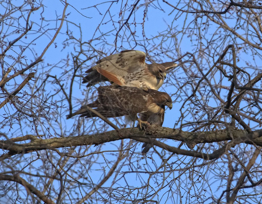 Red-tails Christo & Dora mating in Tompkins Square