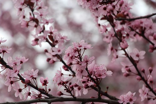 Kirschblüten am Rande des Dorfweges