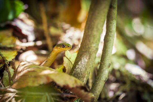 Little common Garter snake - Algonquin Park, ON, Canada