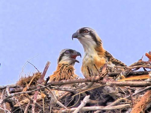 Osprey nestlings HDR 20160329