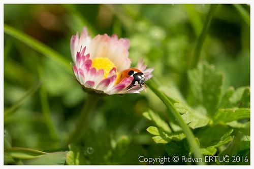ladybird nikkor60mmf28d nikond610 rertug