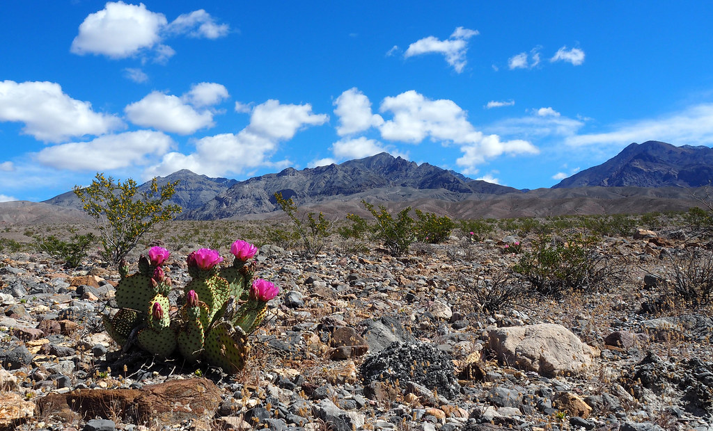 Beavertail cactus, Amargosa Range, Death Valley Nat'l Park, 29MAR2016