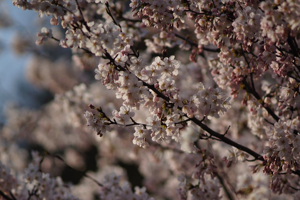 Cherry Blossoms x Sonnar 180mm F2.8