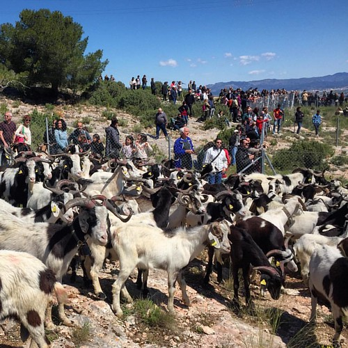 Avui hem estat a la Fira Ramadera i d'Artesania de Rasquera, únic dia de l'any en què els pastors baixen els ramats de cabra blanca de la serra de Cardó.