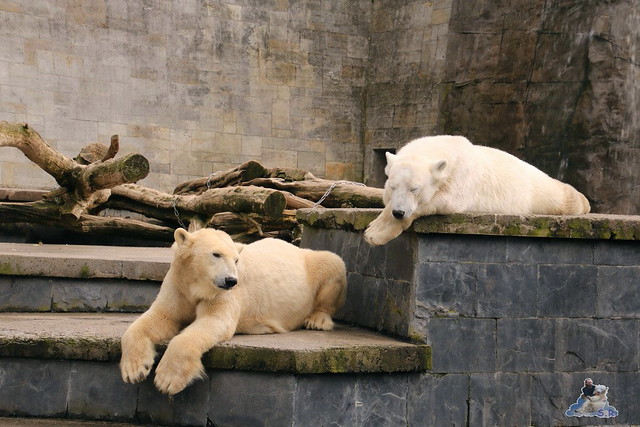 Eisbär Fiete im Zoo Rostock 16.04.2016  53