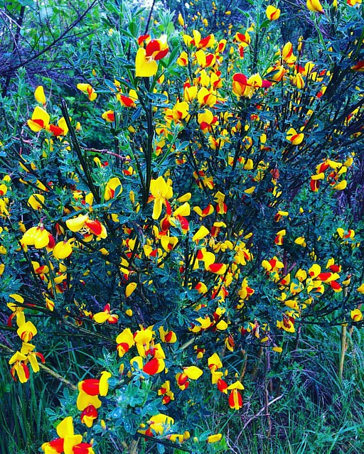 This bright yellow and red Scotch Broom is fun. 💛❤️