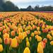 Tulip Farm by thjoyce