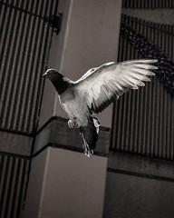 #DailyPigeon 042716 #UrbanWildlife #Dallas #bird  #blackandwhite
