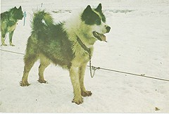 """Mush- """"Antarctica Huskies"""""""