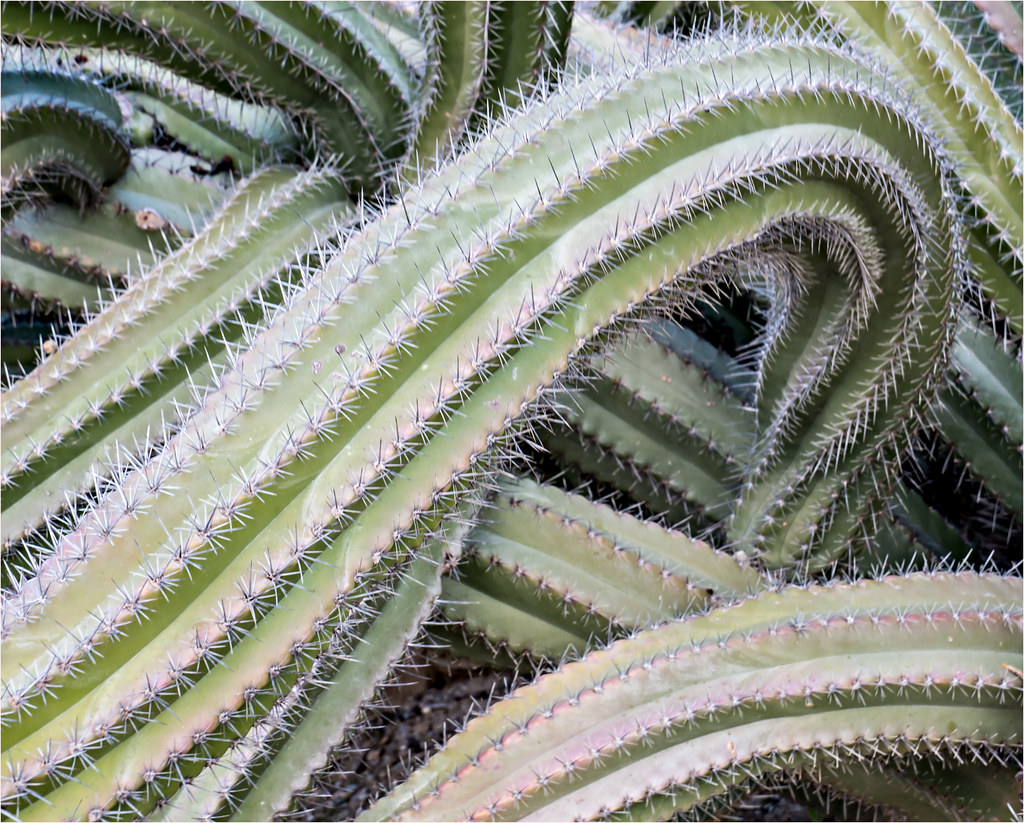 Stenocerews Stellatus or Cactus