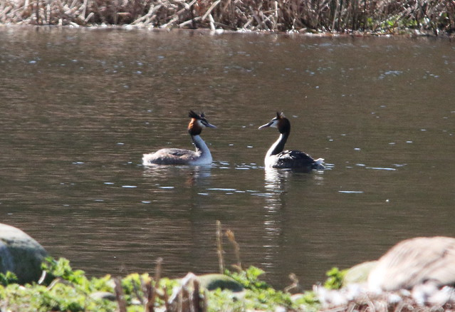 A Pair of Great Crested Grebe