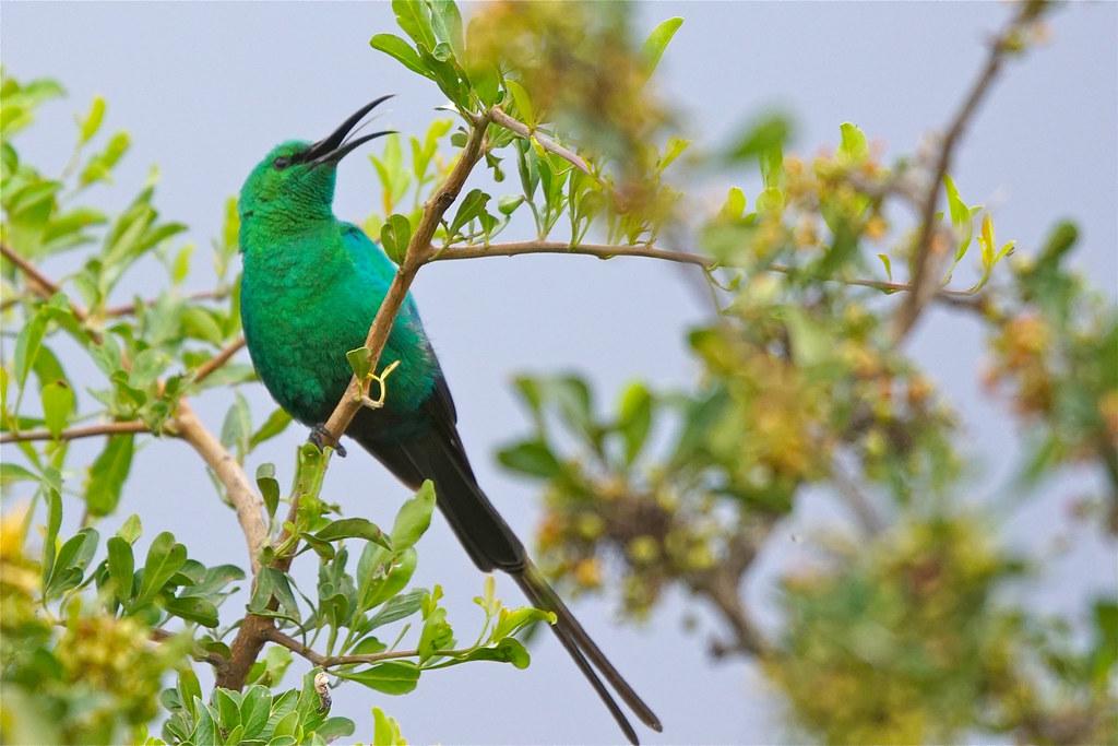 singing male Malachite Sunbird, Eastern Cape, South Africa