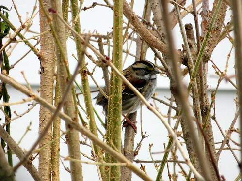 white headed sparrow