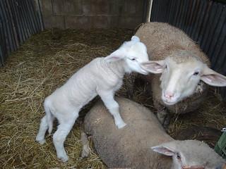 La pecorella nata a Natale (1)