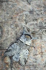 Poplar kitten moth (Furcula bifida)