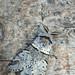 Poplar kitten moth (Furcula bifida) by Franziska Bauer