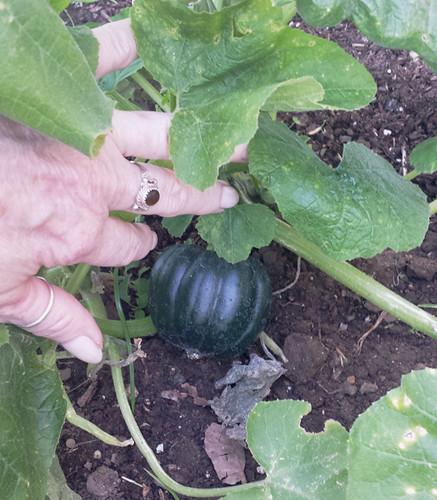 Jan16 Acorn Squash Grow