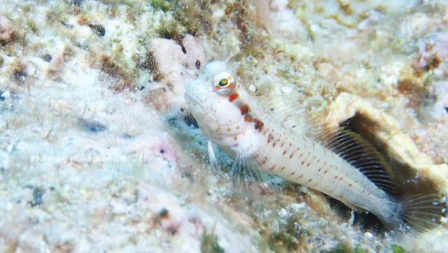 モンツキ幼魚は穴に全然入らないw