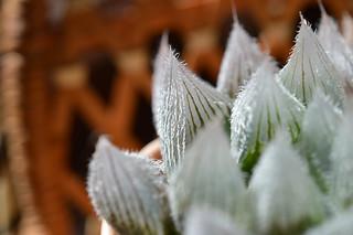DSC_1096 Haworthia cooperi var. venusta ハオルチア ベヌスタ