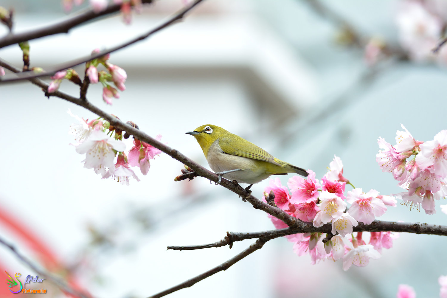 Sakura_White-eye_6769