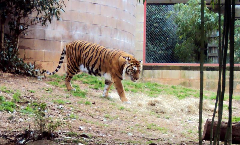 zoo_2016_tiger_2