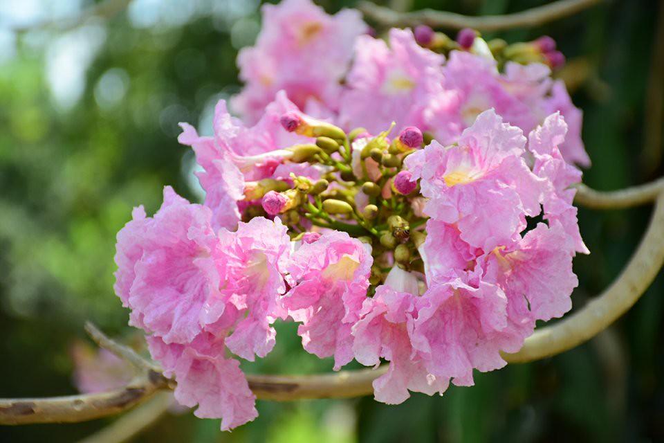 Tabebuia rosea (7)