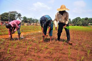 Projet Bénin: Multinational Nerica Rice