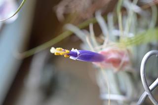 DSC_2708 Tillandsia velickiana ティランジア ベリッキアーナ