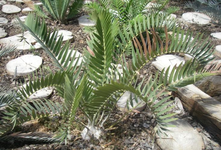 Encephalartos longifolius 25829055861_b888d4ed59_o