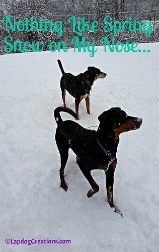 Nothing Like Spring Snow on My Nose - Penny #spring #newengland #snow #dogsplayinginsnow #LapdogCreations ©LapdogCreations