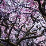 Plum (Ume) Blossoms