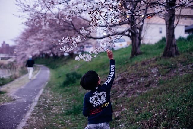 CherryBlossoms_10
