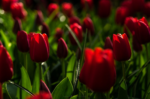 Red Tulips, Holland