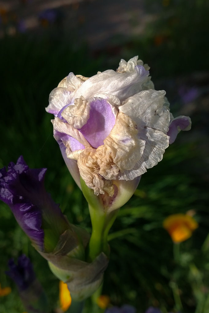 Old_iris