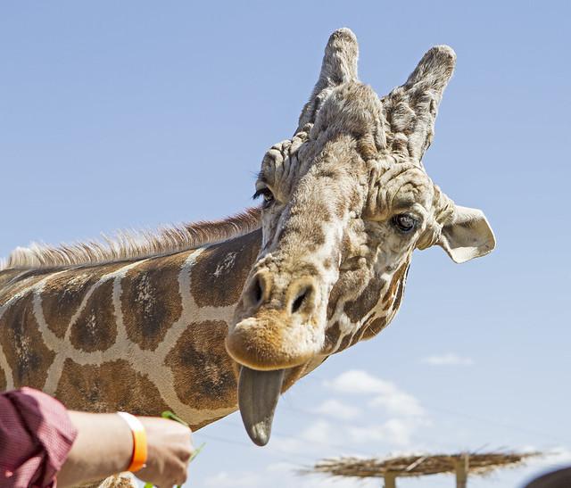 Giraffe 16_7d1__250416