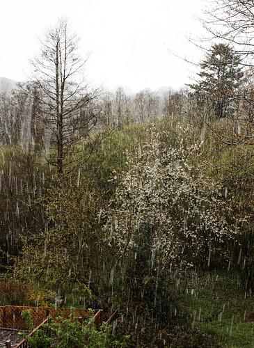 Blossom and snow shower