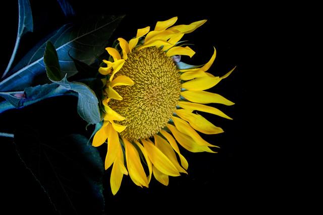 Yellow Sunflower on Black 729