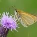 Essex Skipper (Tymelicus lineola) by celerycelery