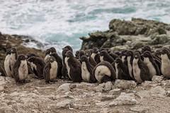 Juvenile Rockhopper Penguins