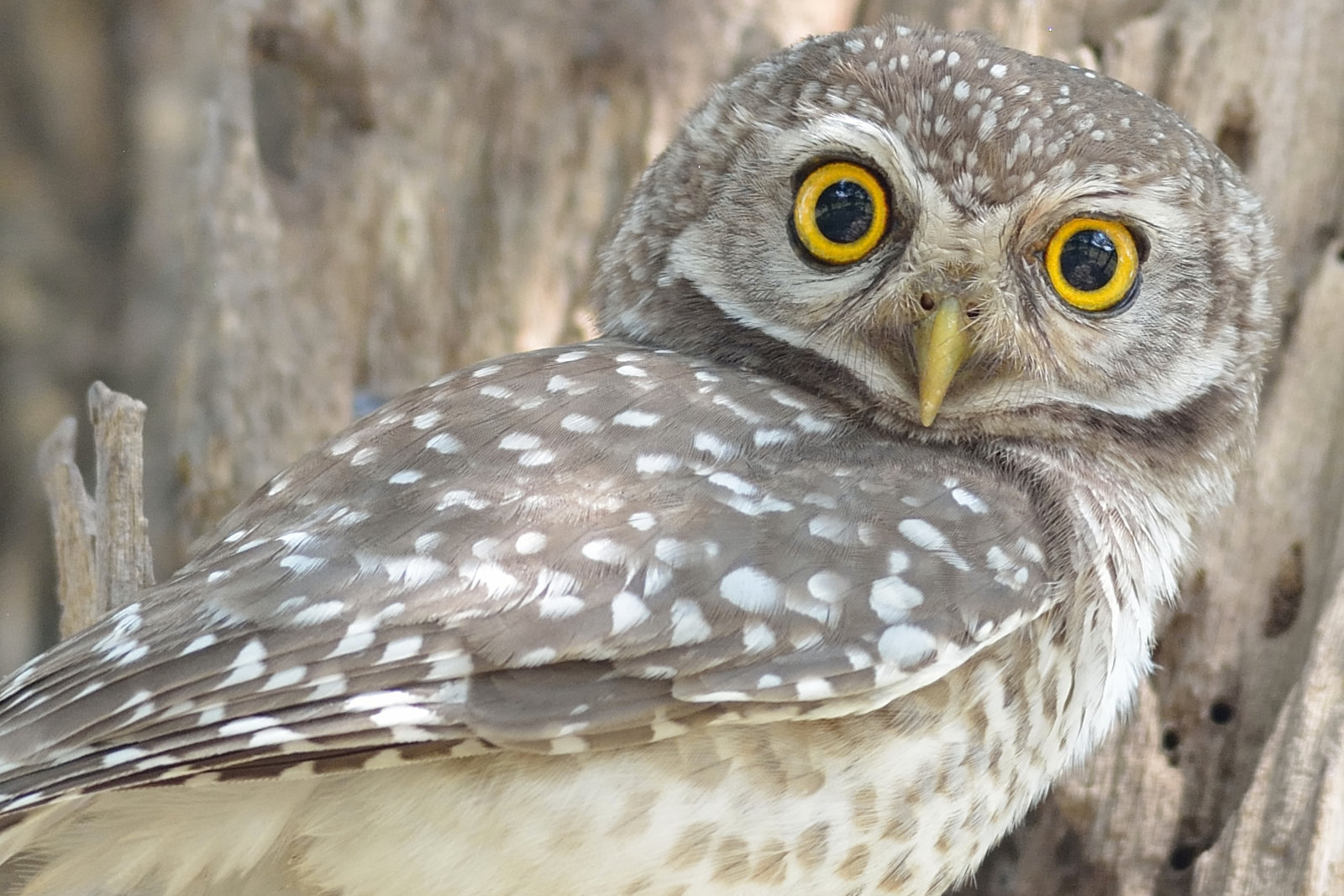 Spotted_Owlet_3296_O