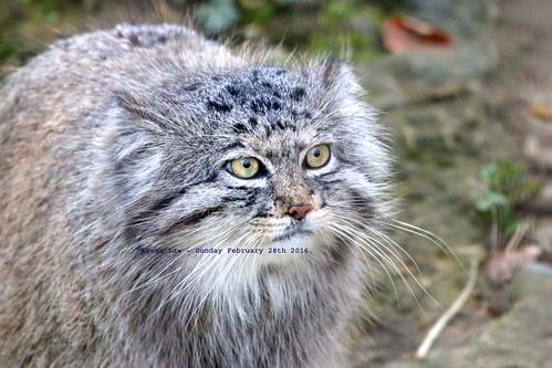 cats cat wildcat pallascat otocolobusmanul