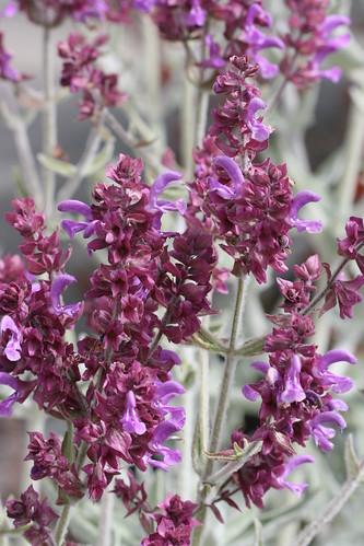 Salvia canariensis candidissimum