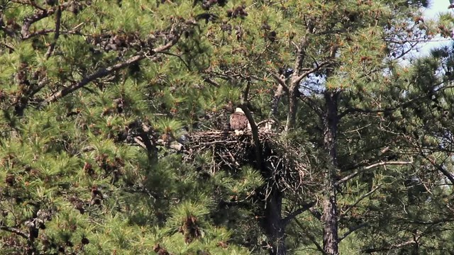 New Hope nest 04-06-2016a