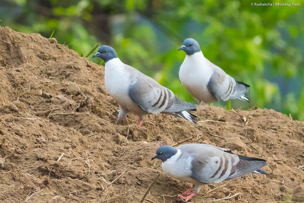 Snow Pigeons