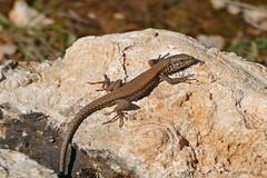 Common Wall Lizard (Podarcis muralis)
