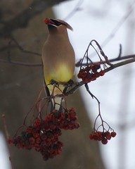 A Cedar Waxwing Munching on my Mountain Ash Berries!!!