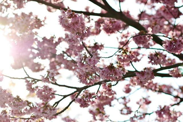 太陽の光と陽光桜