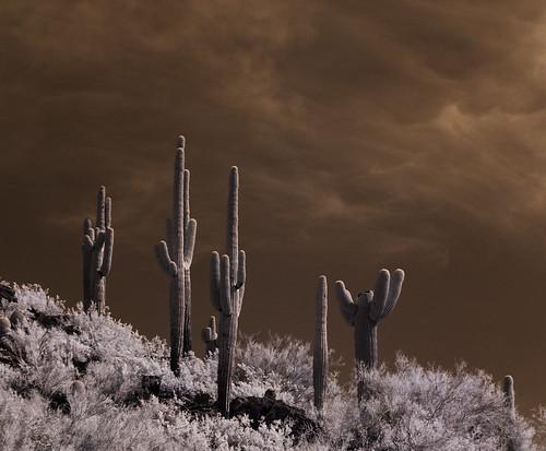 camping arizona cactus nature composition cacti infrared saguaro picachopeakstatepark carnegieagigantea infraredphotography convertedinfraredcamera